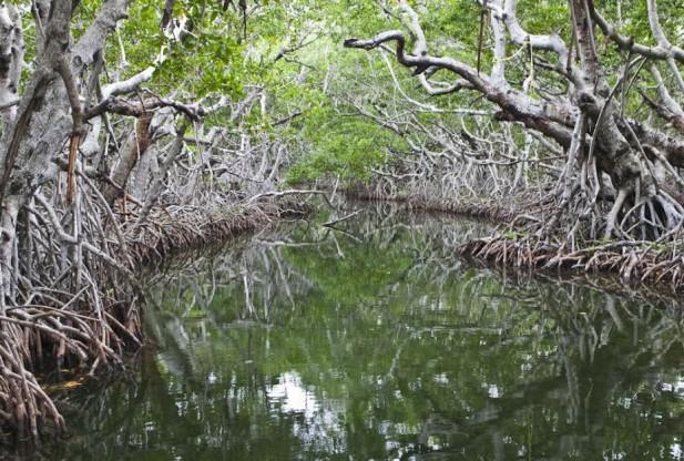 mangrove thesis
