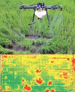 A drone spraying chemicals to a paddy field and a GPS map of a paddy field with weeds marked in red.