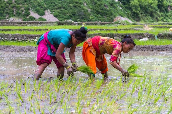 Nepal-Rice-Farmers_ICIMOD_Santosh_photo_sm